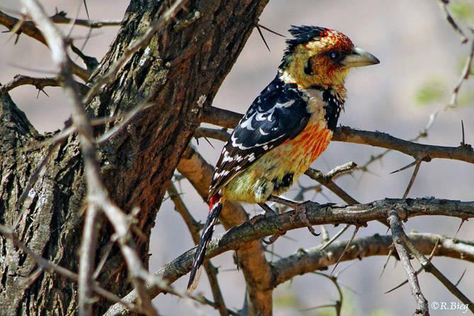 Trachyphonius vaillantii - Haubenbartvogel