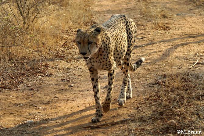 Einer der zahmen Geparden auf dem Weg zur Lodge
