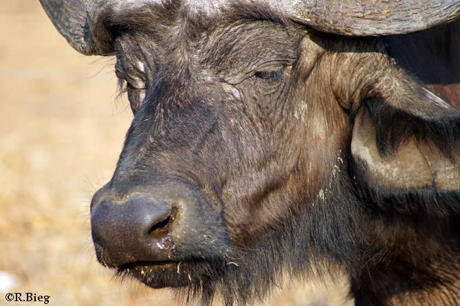 Afrikanischer Büffel - auch Kaffernbüffel genannt