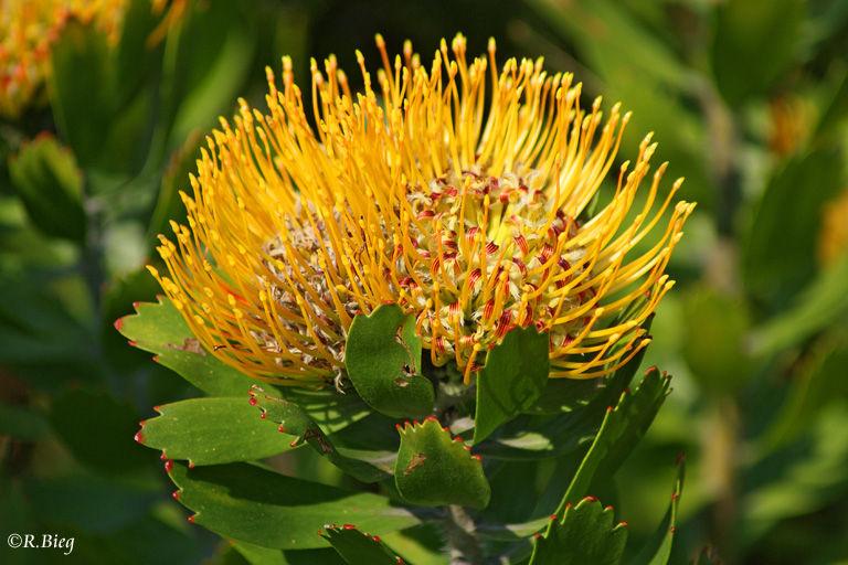 Leucospermum cuneiforme - Familie Proteaceae