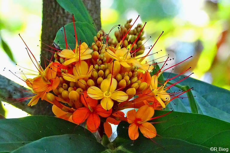 Saraca indica - sie gehört zu den Hülsenfrüchten