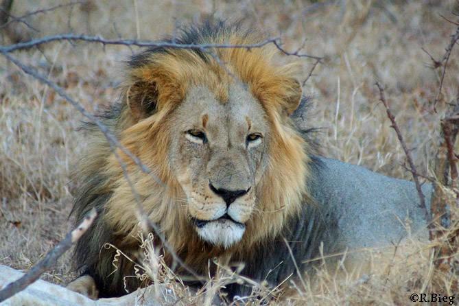 Panthera leo -  das größte Landraubtier Afrikas. Häufig sieht man sie in der Gegend um Sabie