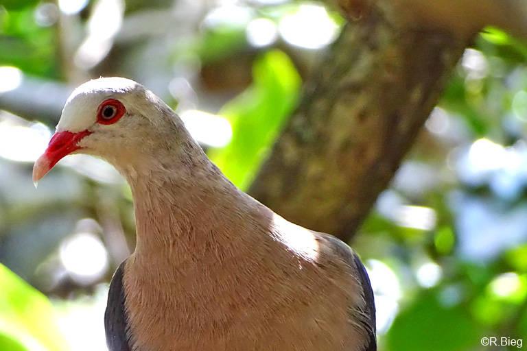 Sie ist endemisch auf Mauritius und ihr Bestand war sehr stark bedroht