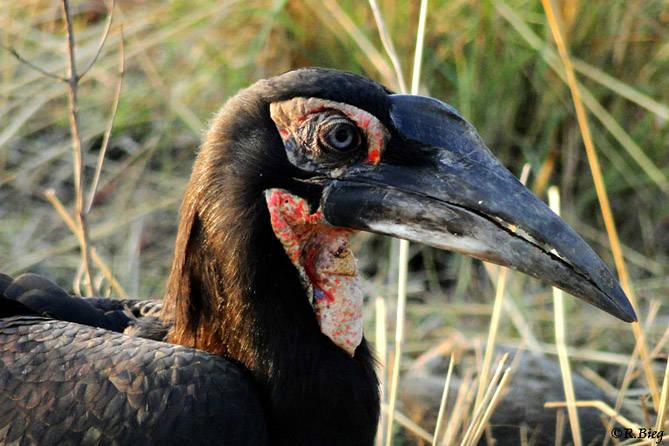 Bucorvus leadbeateri - der Jungvogel ist noch nicht ausgefärbt