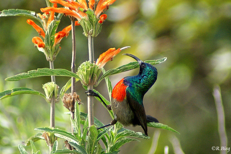 Doppelbannektarvogel - Cinnyris afra