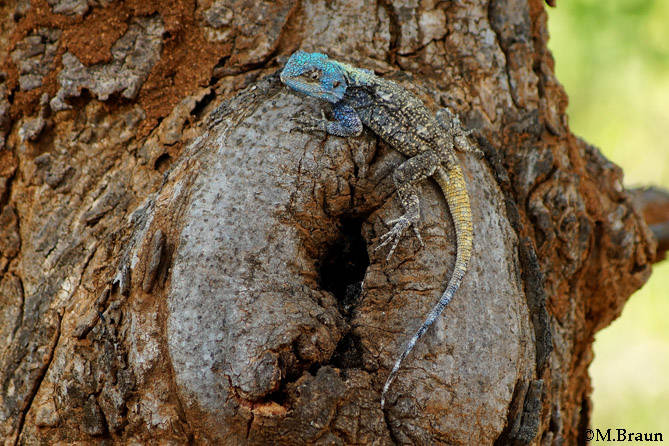 Acanthocercus atricollis -im Garten des Pestana