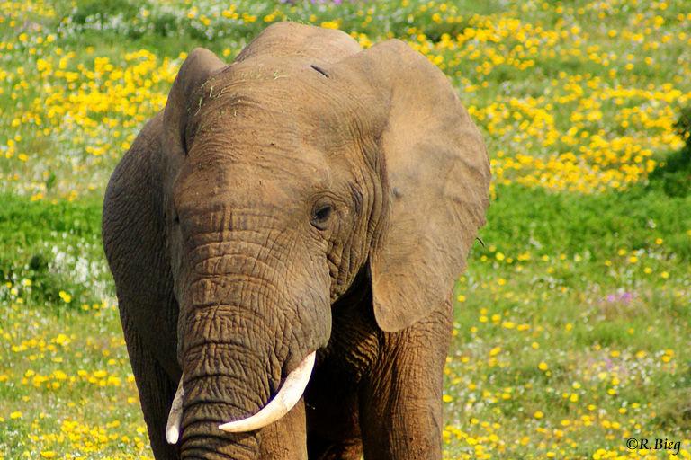 Der afrikanische Elefant ist das größte lebende Landsäugetier
