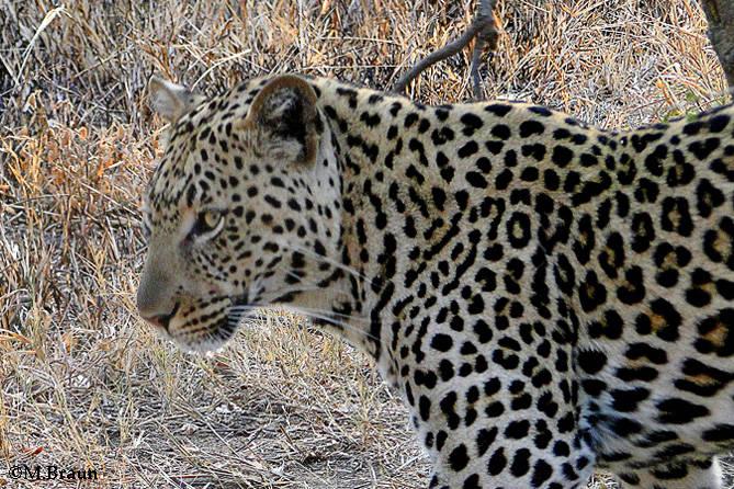 Leopard - Panthera pardus - nahe Lower Sabie