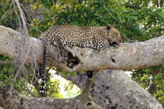 Leopard - Panthera pardus - tagsüber ruhen sie oft in hohen Bäumen