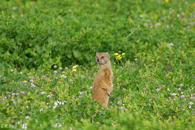 Erdmännchen - Suricata suricatta