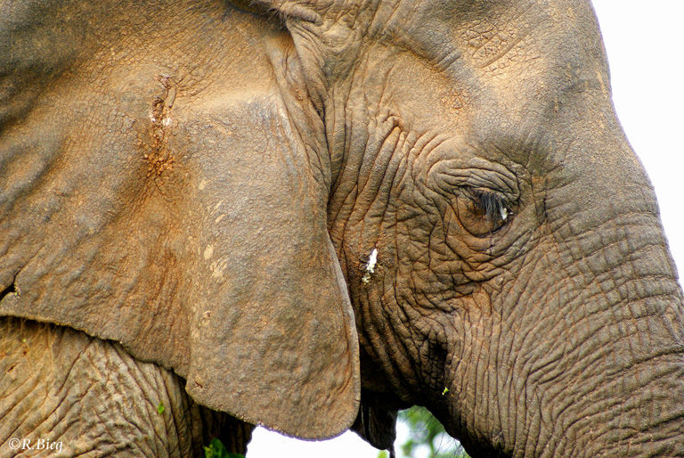 Elefanten können nicht schwitzen und können Wärme über ihre Ohren Wärme abgeben