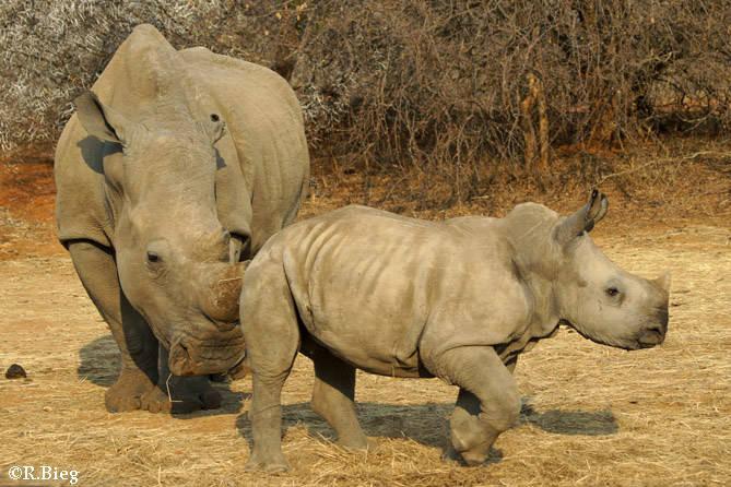 Breitmaulnashorn - die Jungtiere bleiben 2-3 Jahre bei ihren Müttern