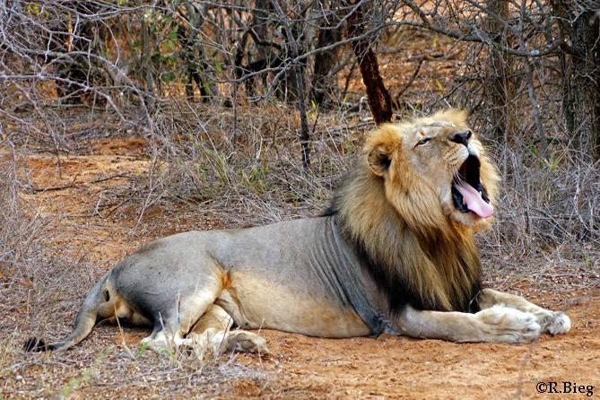 Löwenmännchen können 200 kg schwer werden