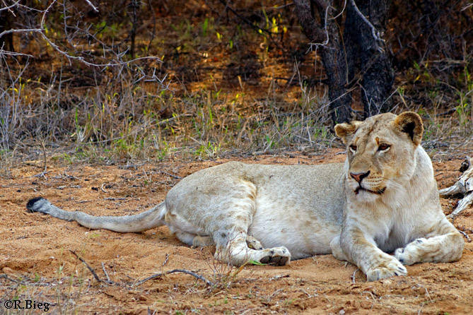 Löwenweibchen - Panthera leo