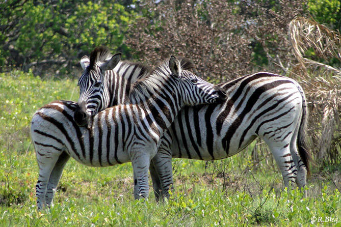 Burchell´s Zebra - Nähe beruhigt