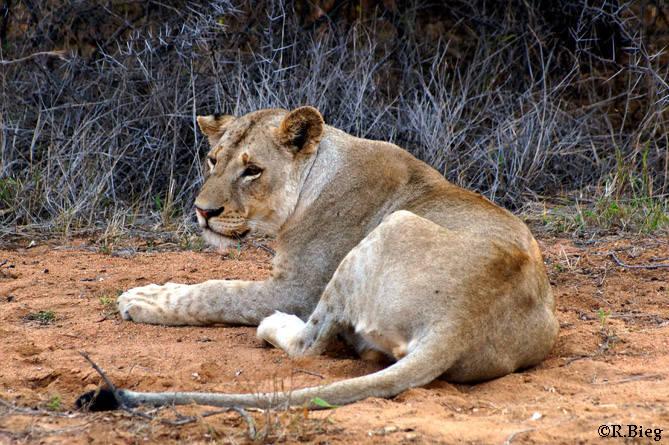 Löwenweibchen erreichen ein Gewicht von 130 kg