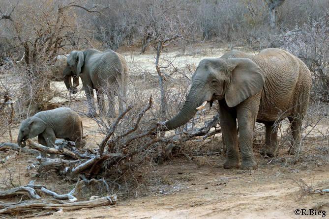 Die Elefantenfamilie Tshukudus