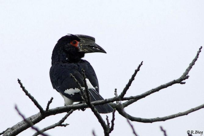 Trompeterhornvogel - Ceratogymna bucinato