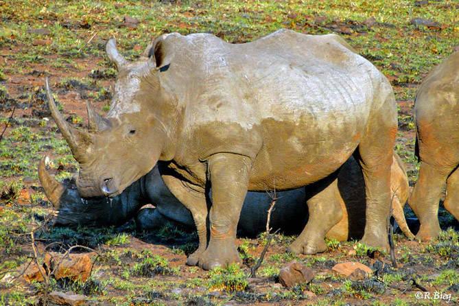 Breitmaulnashörner sahen wir regelmäßig in Ithala