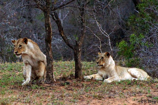 Die Löwenweibchen von Tshukudu