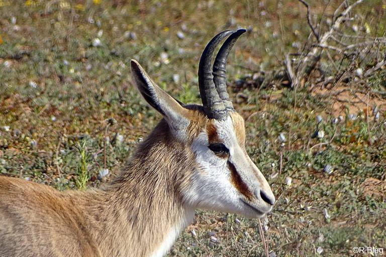 Springbock - Antidorcas marsupialis