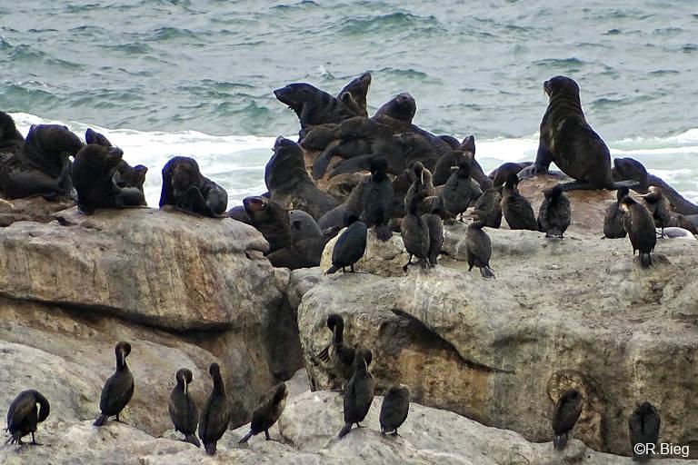 Robben sieht man auch auf Bird Island. Es handelt sich um den südafrikanischen Seebären