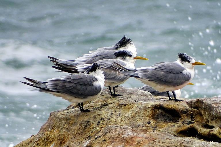 Eilseeschwalbe - Thalasseus bergii - ebenfalls auf Bird Island