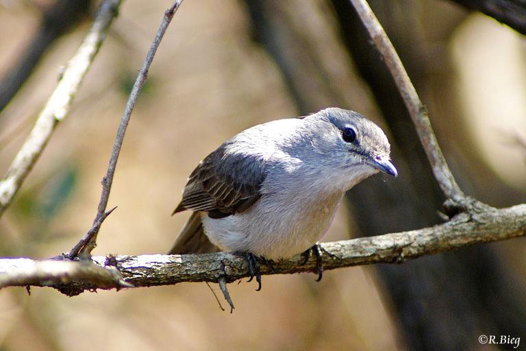 Hartlaubschnäpper - Muscicapa caerulescens