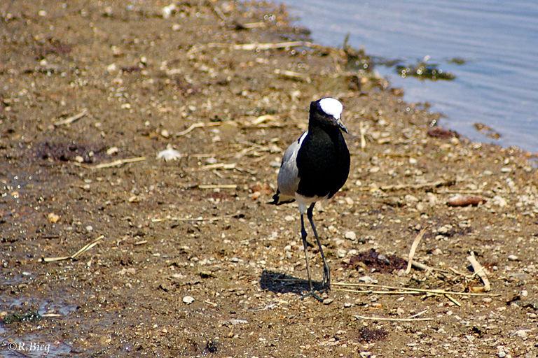 Schmiedekiebitz - Vanellus armatus