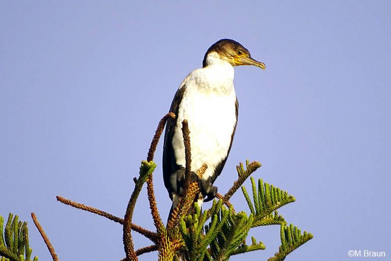 Weißbrustkormoran - Phalacrocorax carbo lucidus