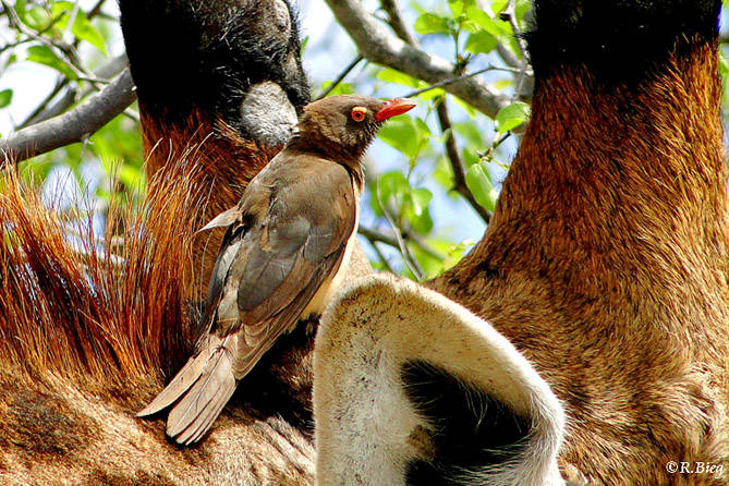 Rotschnabel-Madenhacker - Buphagus erythrorhynchus - er ist im Krüger NP weit verbreitet