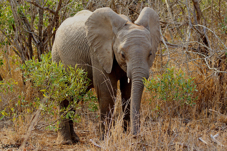 Afrikanischer Elefant - Loxodonta africana - Bullen werden bis zu 5 Tonnen schwer