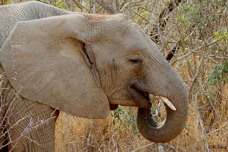 Afrikanischer Elefant - tag- und nachtaktiv