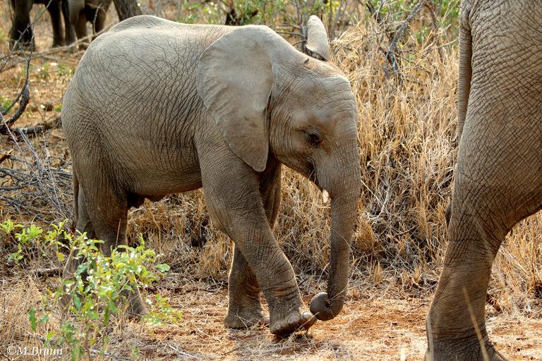 Afrikanischer Elefant - Jungtiere wiegen bei der Geburt nur rund 100 kg