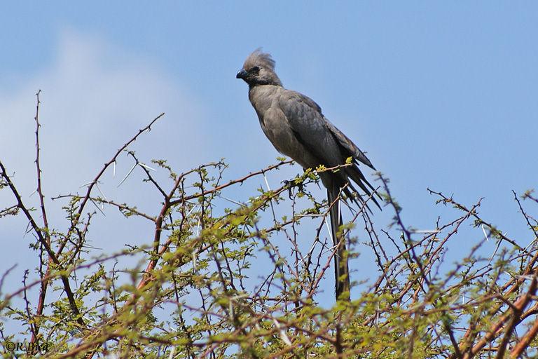 Graulärmvogel - Corythaixoides concolor - er gehört zur Familie der Turakos