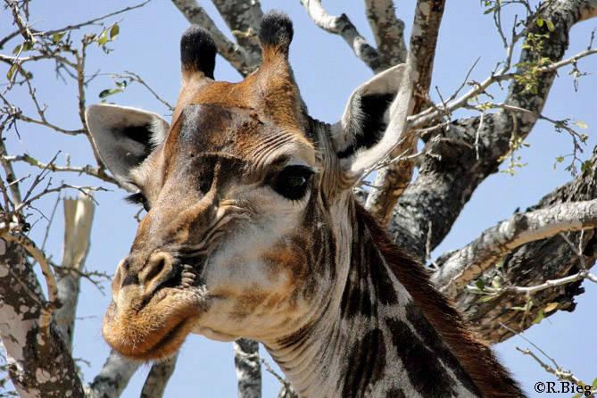 Giraffa camelopardis - die Männchen können 6 m hoch werden