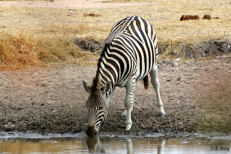 Steppenzebra - Equus burchelli