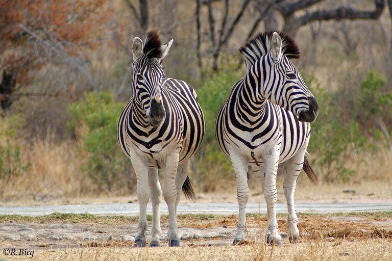 Steppenzebra - Equus burchelli - leben in kleineren Familiengruppen