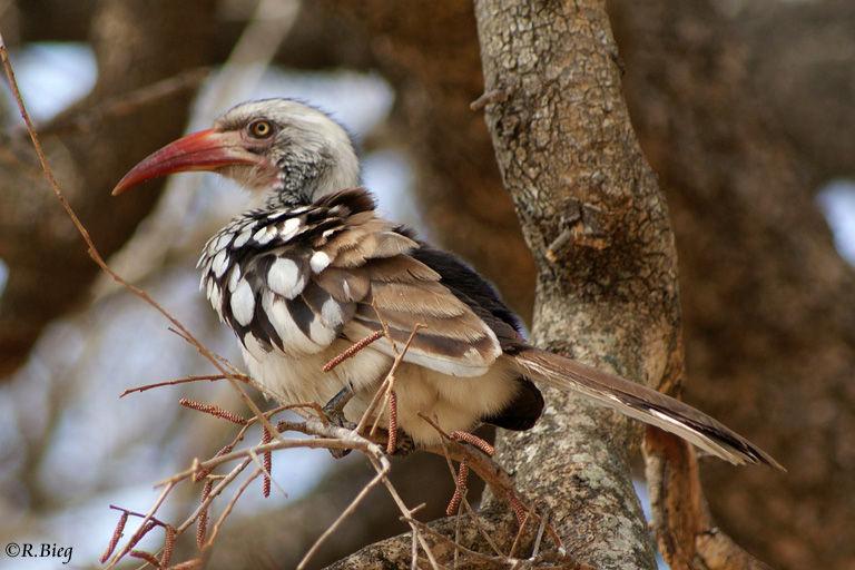 Rotschnabeltoko - Tockus erythrorhynchus