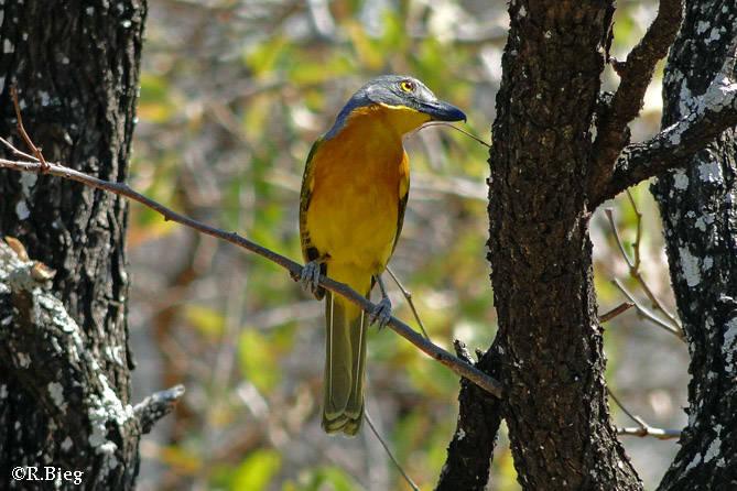 Graukopfwürger - Malaconotus blanchoti - er lebt gerne in Akazienwäldern