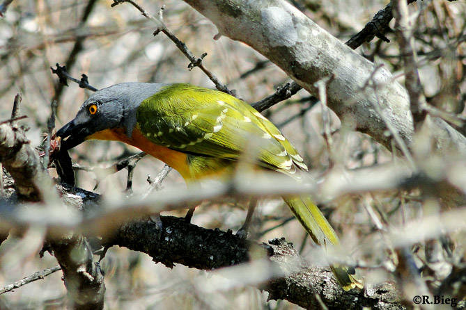 Graukopfwürger - Malaconotus blanchoti - seine Nahrung besteht aus Insekten