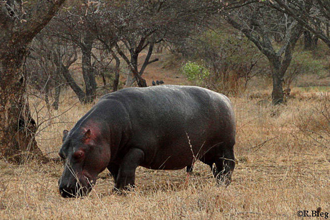 Hippo - Hippopotamus amphibius - auf dem Weg zur Lodge
