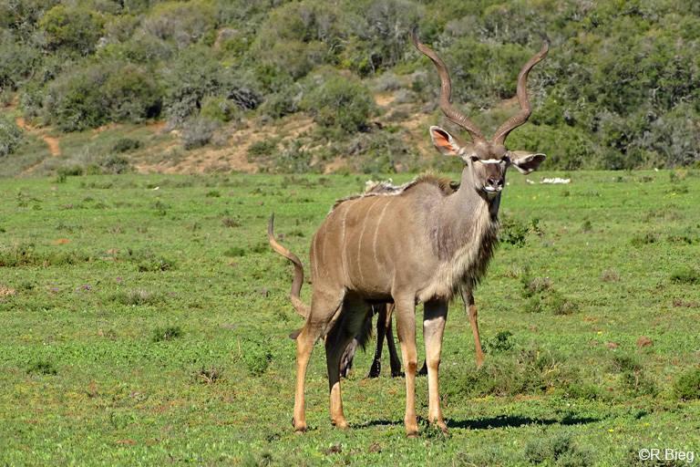 Großer Kudu - Tragelaphus strepsiceros, Männchen