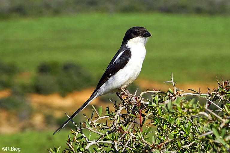 Fiskalwürger - Lanius collaris, Männchen