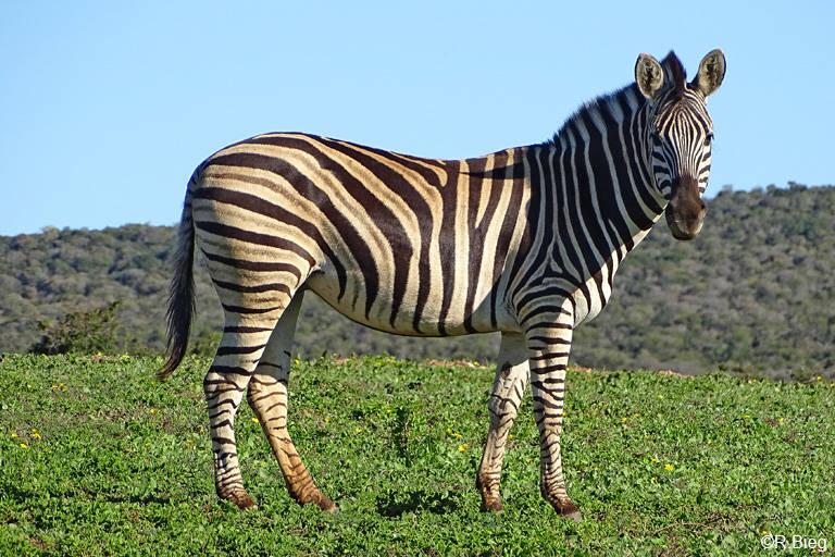 Burchells Zebra  - Equus quagga burchellii - eine Unterart des Steppenzebras