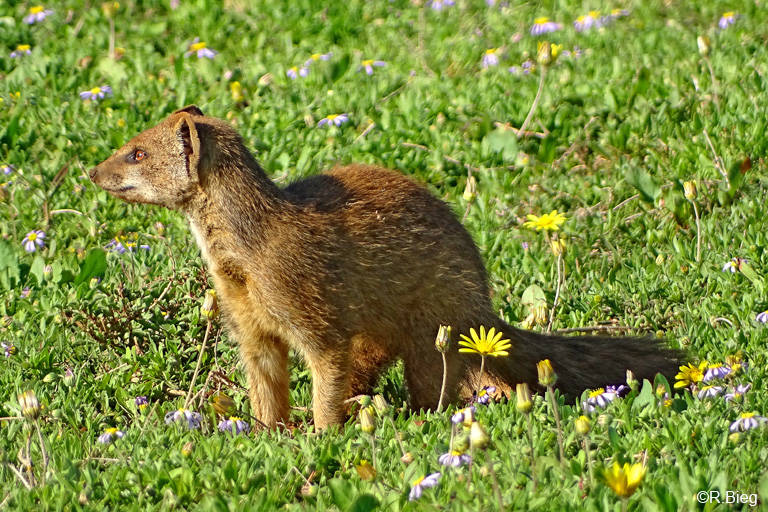 Fuchsmanguste - Cynictis penicillata