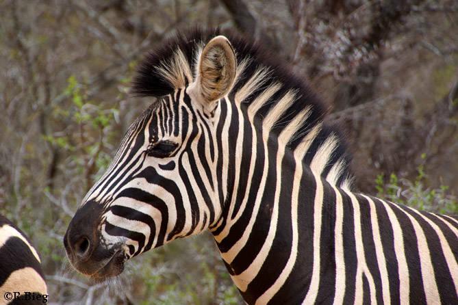 Equus burchelli - ein Pflanzenfresser