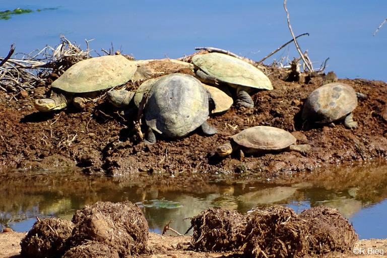 Schildkrötenansammlung am Wasserloch, unbest.