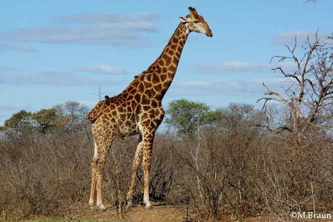 Giraffe -Giraffa camelopardis