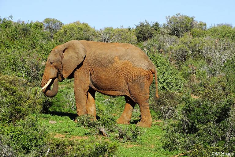Afrikanischer Elefant - Loxodonta africana